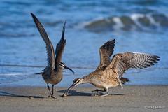 Hey!  That's mine! (craig goettsch) Tags: ocean california blue bird beach water nikon ngc npc d750 avian sandcrab squabble whimbrel 14extender montereypeninsula 850mm salinasrivernwr sunrays5