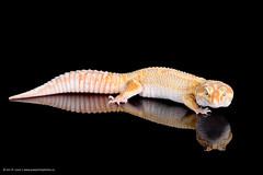 Jungle Leopard Gecko (Jen St. Louis) Tags: ontario canada reflection london studio reptile lizard jungle gecko pawprints leopardgecko petportrait petphotography nikon105mmf28 nikond750 wwwpawprintsphotosca
