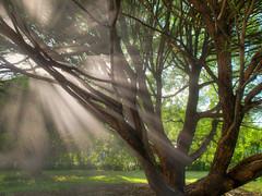 Sun and artificial rain (MikeAncient) Tags: light sunlight tree water sunshine puu hdr vesi aurinko auringonvalo tonemapped 2exp tonemap crackwillow salixfragilis terijoensalava