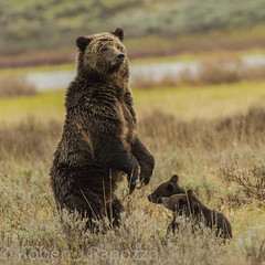 What's up mom (ChicagoBob46) Tags: grizz grizzly grizzlybear bear cub cubs coy cuboftheyear yellowstone yellowstonenationalpark