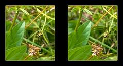 Tiny Grasshopper 1 - Parallel 3D (DarkOnus) Tags: macro closeup stereogram 3d phone pennsylvania cell stereo tiny grasshopper parallel stereography buckscounty huawei mate8 darkonus