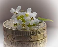 Mini flowers (Mazzlo) Tags: flowers white money macro weed nikon coins mini tiny micro pound florets d5500 macromonday smallerthanacoin