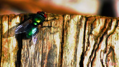 fly (gshaun12) Tags: wood macro art nature animals bug fly bokeh wildlife insects fantasticnature macrodreams