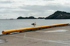 DSC05464.jpg (iheresss) Tags: f14 seagull sony 85mm lofoten svolvaer carlzeiss planart a7r