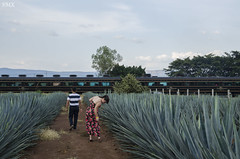 Tequila (ShurperMario) Tags: travel viaje nature america train mexico tren nikon jalisco tequila agave 1685vr d5100