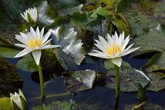 White Waterlilies (ACEZandEIGHTZ) Tags: park plants white plant flower miami waterlilies southdade fruitandspicepark