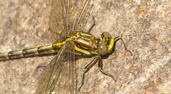 7K8A8881 (rpealit) Tags: nature pond scenery dragonfly clinton wildlife property watershed newark rd clubtail lancet hanks