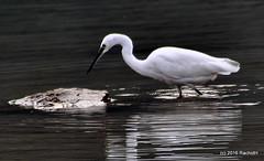 DSC_0005 (rachidH) Tags: nepal lake nature birds pokhara fewa phewa oiseaux egrets littleegret egrettagarzetta aigrettegarzette rachidh