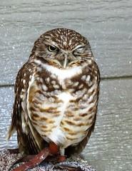 The burrowing owl (EcoSnake) Tags: summer nature birds wildlife center owls summersolstice burrowingowl idahofishandgame