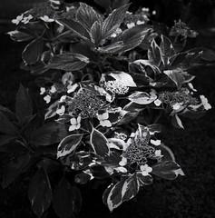 Hydrangea (Nobusuma) Tags: blackandwhite bw flower film coffee monochrome analog zeiss kodak tmax bn hasselblad hydrangea caff f28 biancoenero planar 80mm 500cm selfdeveloped kodaktmax hasselblad500cm  caffenol homemadesoup zeissplanar caffenolcm