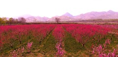 (Vieparamsberlon.) Tags: pink flowers trees colour nature field garden landscape spring scenery blossoms peaches nectarines