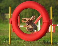 Speedy Cocker..... (MWBee) Tags: dog warrington nikon cheshire ring moore d750 poles cockerspaniel dogagility moorecameraclub mwbee