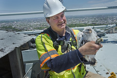 Verrazano Bridge Falcons (MTAPhotos) Tags: falcons verrazanonarrowsbridge verrazanonarrows throgsneckbridge peregrinefalcons marineparkwaygilhodgesmemorialbridge marineparkwaybridge bridgesandtunnels