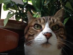 loulou (alexandrarougeron) Tags: lili poupouce chat chatte cat poli oeil moustache beaut belle beau magnifique excellent rebelle douce bisous clin canaille paris lige montmartre douceur gentille cats poil fourrure minou