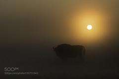European Bison (tycampbe) Tags: park forest sunrise dawn european wildlife poland national bialowieza bison wisent primeval narodowy bonasus 500px biaowieski ifttt