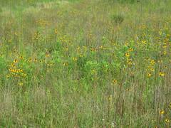 yellow flowers (slider5) Tags: flowers ms prairie blackeyedsusan morganhill noxubee