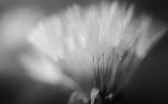 A Touch of Light III (Charles Opper) Tags: light blackandwhite flower macro nature monochrome canon spring bokeh dandelion