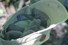 IMG_4913 (Mercar) Tags: european mink hiiumaa lko euroopa mustela naarits lutreola