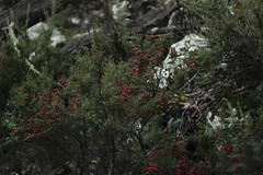 IMG_2256 (kunzhut) Tags: wild mountain nature forest berries australia tasmania tassie cradle