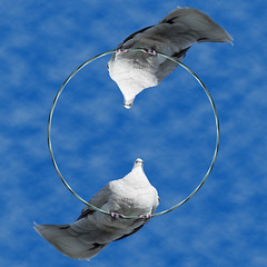 Loopy birds (Carbon Arc) Tags: bird animal photoshop circle outdoors wire loop pigeon cable ring perch circular avian littleplanet stereographicprojection