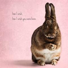 Pink Bunny (Jeric Santiago) Tags: pink pet rabbit bunny animal lyrics conejo pinkfloyd lapin hase wishyouwerehere kaninchen   winterrabbit