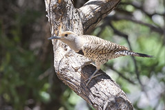 Gilded Flicker (Natures Joy Photography) Tags: arizona hereford gilded flicker huachucamountains colapteschrysoides gildedflicker piciformes ashcanyon huachucas gifl ballator ashcanyonbb maryjoballator