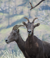 Being curious creates great poses (cbaarch) Tags: california mammal sheep britishcolumbia okanagan bighorn ewe mcintyrecreekroad vaseuxwildlifecentre