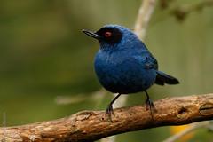 Diglossa cyanea - Masked Flowerpiercer (danielplow) Tags: birds colombia mark birding ii 7d birdsofcolombia colombiabirds 7dmarkii