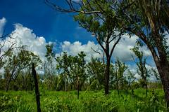 Australian Bush (betadecay2000) Tags: plant flower tree green fleur bush outdoor top pflanze pflanzen australian australia beta palm palmtree end australien grün humilis bäume palme baum busch australie bloem austral savanne livistona regenzeit