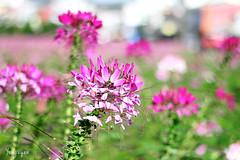 2016060811 (Yo Nguyen) Tags: cleome spiderflowers dalatcity hoatyip