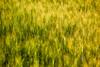 Layers of Grain (Bhlubarber) Tags: summer food canada field yellow photography farm wheat grain harvest whole alberta crop western carvel prairies commodity eatlocal davidniddrie
