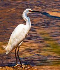 Egret at Sunset (Jitney58) Tags: birds interesting great fl egret egrets