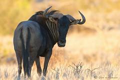 Blue Wildebeest (leendert3) Tags: ngc npc bluewildebeest