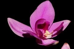 Spathoglottis plicata (andreas lambrianides) Tags: orchidaceae australianflora spathoglottisplicata australiannativeplants arfp australianorchids rainforestorchids qrfp arfflowers largepurpleorchid pinkarfflowers purplearfflowers terrestrianorchids