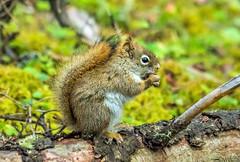 red squirrel - banff NP, canada (AB) 2 (Russell Scott Images) Tags: canada ab alberta banff rodents banffnationalpark pinesquirrel americanredsquirreltamiasciurushudsonicus