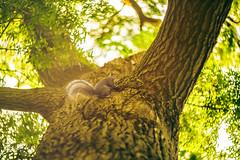 Morning backlight (Arutemu) Tags: morning sunlight backlight squirrel bokeh sony  helios   helios402    a7r helios85mm   sonya7r ilcea7r