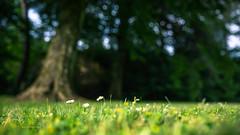 Daisy love... (SteffPicture) Tags: macro tree nature ilovenature spring bokeh outdoor pflanze grn blume makro blte baum springtime frhling gnseblmchen tausendschn schrfentiefe margerite heiter margritli naturebokeh masliebchen steffpicture monatsrserl