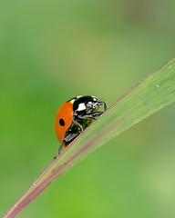 Coccinella septempunctata (GeoTsia) Tags: macro bug beetle ladybird coleoptera coccinellidae coccinella coccinellaseptempunctata