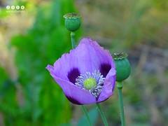 Mohn (Papaver) (warata) Tags: flower fleur germany deutschland pflanze blume blte papaver purpleflowers mohn 2016 wildblume wildpflanze