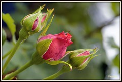 _JVA6847 (mrjean.eu) Tags: park pink flowers blue roses white france flower macro green nature fleur rose yellow fleurs garden nikon jardin botanic lorraine botanique parc metz 105mmf28