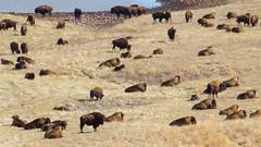 Herd (Notkalvin) Tags: southdakota america mammal buffalo her bison roam custerstatepark custer roaming americanbison mikekline outdooranimals notkalvinphotography thegameloopnotkalvin
