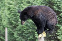 Yes I can (Maja's Photography) Tags: portrait animals closeup forest canon bc wildlife bears blackbear bearcub