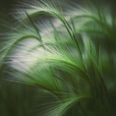 Soft Grass (ScottNorrisPhoto) Tags: park wild summer usa abstract green nature grass closeup wisconsin landscape outdoors photography cool soft glow natural native small peaceful overcast calm explore milwaukee photoaday mysterious blade pastoral squarecrop photooftheday fieldgrass 365project scottnorrisphotography