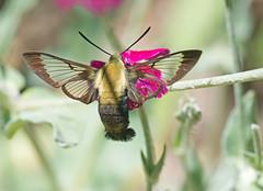 Hummingbird Clearwing (mishko2007) Tags: 105mmf28 hummingbirdclearwing hemaristhysbe raleighnc