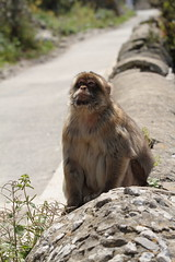 Barbary Ape (david.england18) Tags: barbaryape gibraltar therock monkey thomsoncruise transatlanticquest canon7d canonef70200mmf28lllusm