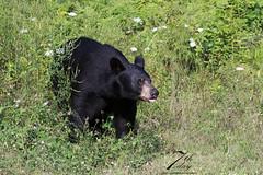 Old friend (Seventh day photography.ca) Tags: bear summer ontario canada animal mammal wildlife wildanimal predator blackbear 2015