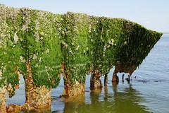 Buhnenreste Sylt Ellenbogen (NeCoMuk_) Tags: meer rost nordsee algen buhne ellenbogen sylt2016