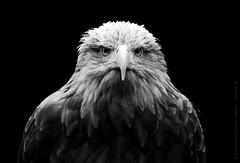 Eagle Eyes (Sair Jane) Tags: portrait blackandwhite bw bird bigbird gg eagle flight feathers predator birdofprey canon450d whitetaileagle