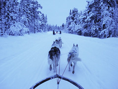 Dog sledding above the arctic circle (Greelow) Tags: travel winter wild dog chien snow animal nikon sweden north arctic neige sled froid nord sauvage sude attelage d7000 greelow