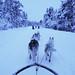 Dog sledding above the arctic circle